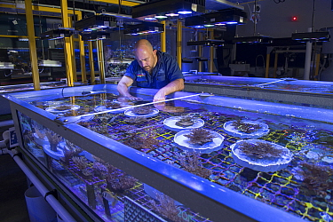 Research aquarist Andrea Severeti with experiments in National Sea Simulator, fragment and spawn grown Coral from Great Barrier Reef. Australian Institute of Marine Science where impacts of complex en...