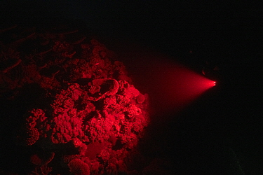 Coral reef illuminated with red light by cameraman whilst waiting for Corals to spawn. Spawn collected by Coral Larval Restoration / Coral IVF Project to rear Coral and replenish degraded areas of ree...