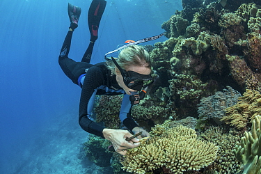 Biologist Katie Chartrand of James Cook University collecting Coral samples to further knowledge of Coral spawning, part of the Coral Larval Restoration Project led by Southern Cross University. Great...