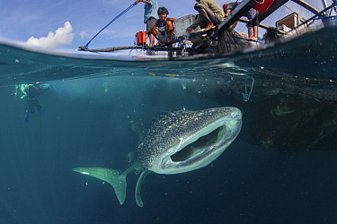 Whale shark (Rhincodon typus) feeding below bagan fishing boat, divers in background. Shark population non-migratory due to being fed by fishermen. Cenderawasih Bay, Papua, Indonesia. 2020.
