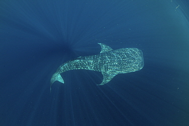 Whale shark (Rhincodon typus) from a non-migratory population fed by local fishermen. Cenderawasih Bay, Papua, Indonesia.