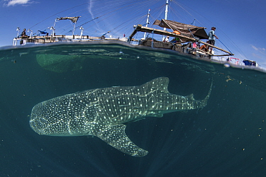 Whale shark (Rhincodon typus) below bagan fishing boat, from a non-migratory population fed by local fishermen. Cenderawasih Bay, Papua, Indonesia. 2020.