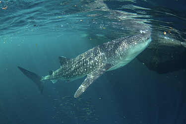 Whale shark (Rhincodon typus), from a non-migratory population fed by local fishermen. Cenderawasih Bay, Papua, Indonesia. 2020.