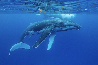 Humpback whale (Megaptera novaeangliae), two below water surface. Tonga.