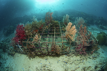 Soft coral (Alcyonacea) growing on artificial reef made from wire structure, fish in background. In area of damaged coral reef. Misool Eco Resort, Raja Ampat Islands, Indonesia. 2018.