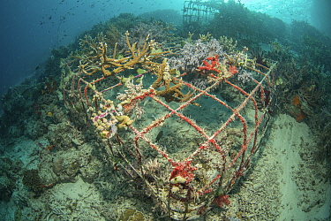Soft coral (Alcyonacea) growing on artificial reef made from wire structure, in area of damaged coral reef. Misool Eco Resort, Raja Ampat Islands, Indonesia. 2018.