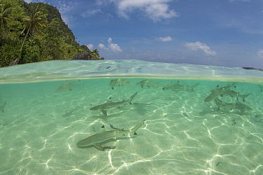 Blacktip reef shark (Carcharhinus melanopterus) juveniles in coastal waters, split level image. Raja Ampat Islands, Indonesia.