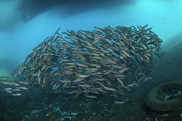 Striped catfish (Plotosus lineatus) schooling between boats docked at pier and litter on sea floor. Ambon Island, Maluku, Indonesia. 2018.