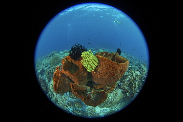 Barrel sponge and Crinoids in coral reef, taken with fisheye lens. Indonesia.