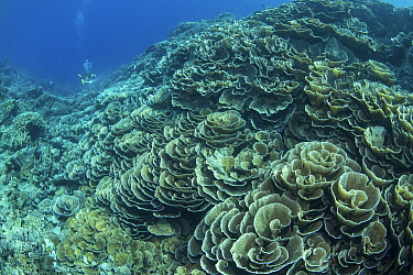 Cabbage coral (Scleractinia) in coral reef near Gunung Banda Api volcano, these corals thrived in lava flow from the 1988 eruption. Diver in background. Banda Neira, Banda Islands, Indonesia.