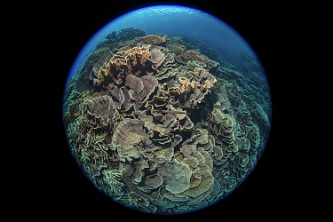 Cabbage coral (Scleractinia) in coral reef near Gunung Banda Api volcano, these corals thrived in lava flow from the 1988 eruption, taken with fisheye lens. Banda Neira, Banda Islands, Indonesia.