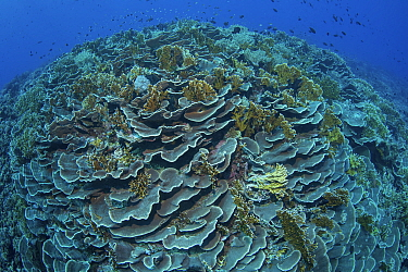 Cabbage coral (Scleractinia) in coral reef near Gunung Banda Api volcano, these corals thrived in lava flow from the 1988 eruption. Banda Neira, Banda Islands, Indonesia.