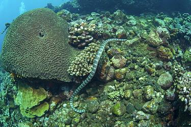 Olive sea snake (Aipysurus laevis) swimming over coral reef. Gunung Api atoll, Indonesia.