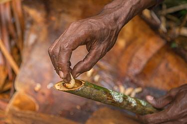 Sago palm weevil (Rhynchophorus sp) grub found during Sago palm (Metroxylon sagu) harvest. These larvae feed on rotting trunks of palms. West Papua, Indonesia. 2018.
