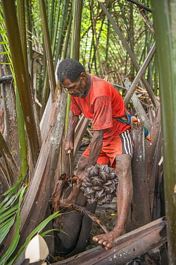 Man harvesting pith of Palm tree to be processed into sago, a starchy staple. Sago palm (Metroxylon sagu) is most commonly used. West Papua, Indonesia. 2018.