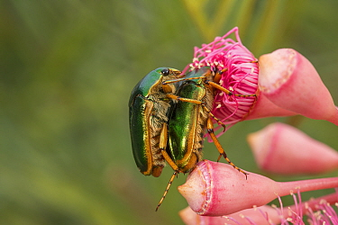 Christmas beetle (Anoplognathus sp) pair mating or feeding on flower. Atherton Tablelands, Far North Queensland, Australia.