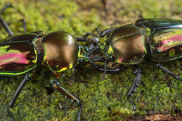 Mueller's stag beetle (Phalacrognathus muelleri) pair appearing to fight. Far North Queensland, Australia.