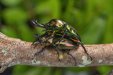 Mueller's stag beetle (Phalacrognathus muelleri) pair mating on branch. Queensland, Australia.
