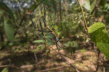Golden orb weaving spider (Nephila pilipes) pair, male tiny in comparison to female. Far North Queensland, Australia