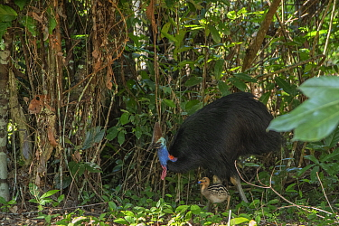 Southern cassowary (Casuarius casuarius johnsonii) male and chick feeding in rainforest. Mission Beach, Far North Queensland, Australia.