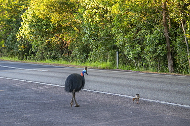 Southern cassowary (Casuarius casuarius johnsonii) male and chick crossing the road. Mission Beach, Far North Queensland, Australia.