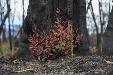 Eucalypt (Eucalypteae) with epicormic growth at base of charred tree trunk, damaged by bush fire. Blue Mountains, New South Wales, Australia. February 2020.