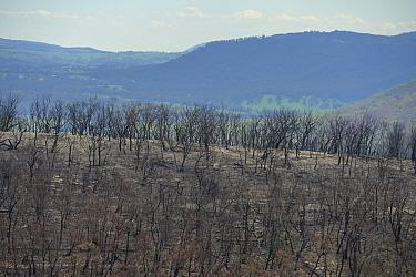 Eucalypt (Eucalypteae) forest damaged by bush fire. Blue Mountains, New South Wales, Australia. February 2020.