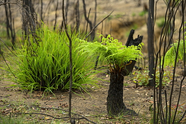 Tree fern (Cyatheales) with epicormic growth, damaged in forest fire. Blue Mountains, New South Wales, Australia. February 2020.
