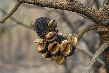 Banksia (Banksai sp) flower charred by bush fire. Blue Mountains, New South Wales, Australia. 2020.