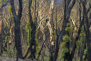 Eucalyptus (Eucalypteae) trees charred by bush fire, epicormic new growth on trunks. Blue Mountains, New South Wales, Australia. February 2020.