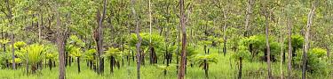 Cycad (Cycas media) growing amongst trees. Far North Queensland, Australia.