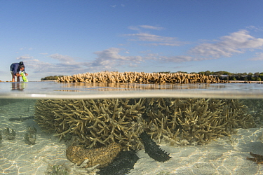 Split level of Sea cucumbers (Holothuroidea) on sea floor at low tide, tourist looking at coral reef with coral scope in background. Southern Great Barrier Reef, Heron Island, Queensland, Australia. 2...