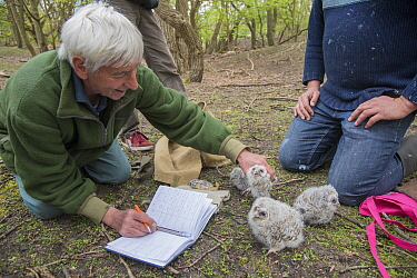 Bird ringer and researcher Fred Koning measuring and ringing four Tawny owl (Strix aluco) chicks. Part of a 60 year long-term study to monitor raptors and their nests in a 3,400 hectare area of coasta...