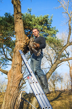 Bird ringer Henk-Jan Koning extracting Tawny owl (Stix aluco) from nest in tree cavity before ringing it. Part of a 60 year long-term study led by Fred Koning to monitor raptor nests in a 3,400 hectar...