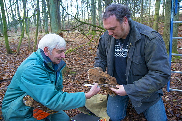 Father and son, Fred and Henk-Jan Koning measuring Tawny owl (Stix aluco) wing during ringing session. Part of a 60 year long-term study to monitor raptor nests in a 3,400 hectare area of coastal dune...