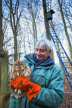 Bird ringer Fred Koning holding Tawny owl (Strix aluco) during ringing session. Part of 60 year long-term study to monitor raptor nests in a 3,400 hectare area of coastal dunes. Near Amsterdam, The Ne...