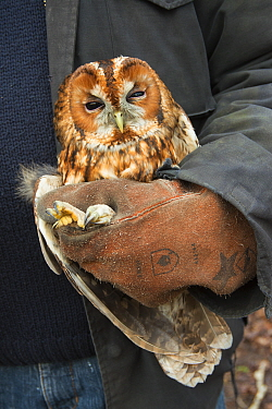 Tawny owl (Stix aluco) held during bird ringing session. Part of a 60 year long-term study to monitor raptor nests in a 3,400 hectare area of coastal dunes. Near Amsterdam, The Netherlands. February 2...