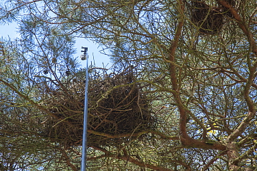 GoPro camera on pole used to check Northern goshawk (Accipiter gentilis) bird's nest in tree. Part of 60 year long-term to monitor raptor nests in a 3,400 hectare area of coastal dunes. Near Amste...