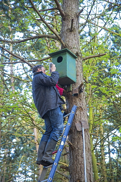 Bird ringer Henk-Jan Koning taking Tawny owl (Strix aluco) chick out of nest before ringing. Part of 60 year long-term study led by his father Fred to monitor raptor nests in a 3,400 hectare area of c...