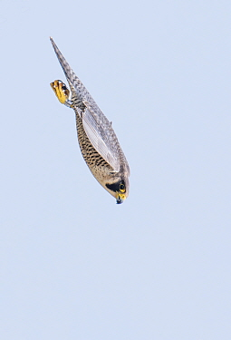 Peregrine (Falco peregrinus) diving whilst hunting. The Netherlands. May.