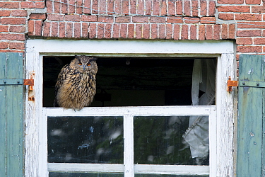 Eurasian eagle owl (Bubo bubo) perched on broken window of abandoned farm. The Netherlands. July 2020.