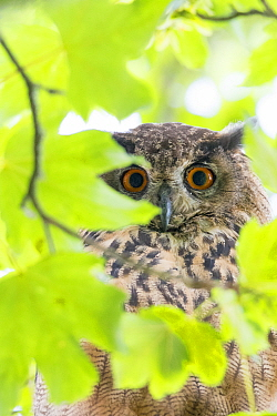 Eurasian eagle owl (Bubo bubo) perched in tree, viewed through leaves, portrait. The Netherlands. July.