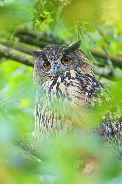 Eurasian eagle owl (Bubo bubo) perched in tree, portrait. The Netherlands. July.