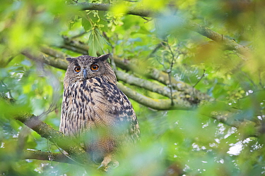 Eurasian eagle owl (Bubo bubo) perched in tree. The Netherlands. July.