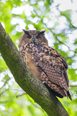Eurasian eagle owl (Bubo bubo) perched on branch. The Netherlands. June.