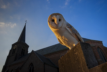 Barn owl (Tyto alba) perched on gravestone in front of church, in evening light. The Netherlands. Captive.