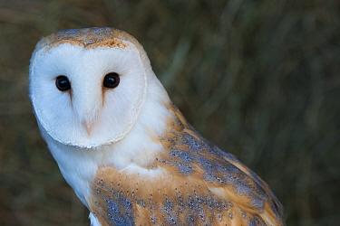 Barn owl (Tyto alba) portrait. Captive.