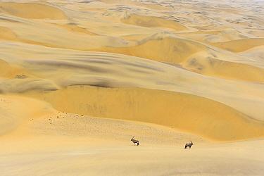 Gemsbok (Oryx gazella) in dunes of Namib Desert, Namibia. December. Finalist in BioPhoto competition 2020.