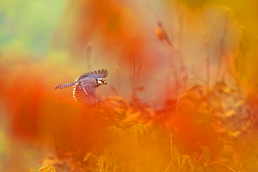 Blue Jay (Cyanocitta cristata) in flight carrying an acorn, photographed through red autumn foliage, October, Ithaca, New York, USA.Commended in the Inspirational Encounters category of the Bird Photo...