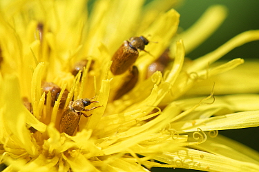 Fruitworm beetle (Byturus ochraceus) aggregation feeding on Dandelion (Taraxacum officinalis) pollen by a woodland path, Wiltshire, UK, April.
